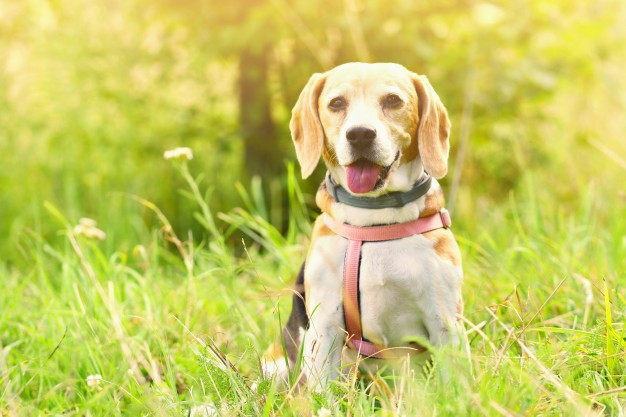 beagle-a-beautiful-shot-of-a-dog-in-the-grass_1161-359